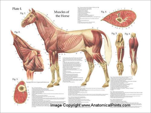 Horse Muscular System Poster Clinical Charts And Supplies
