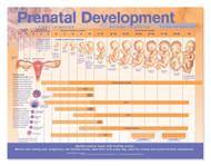 Prenatal Development Poster
