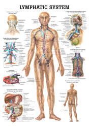Human Lymphatic System Poster