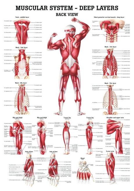 Muscular Systems-Deep Layers