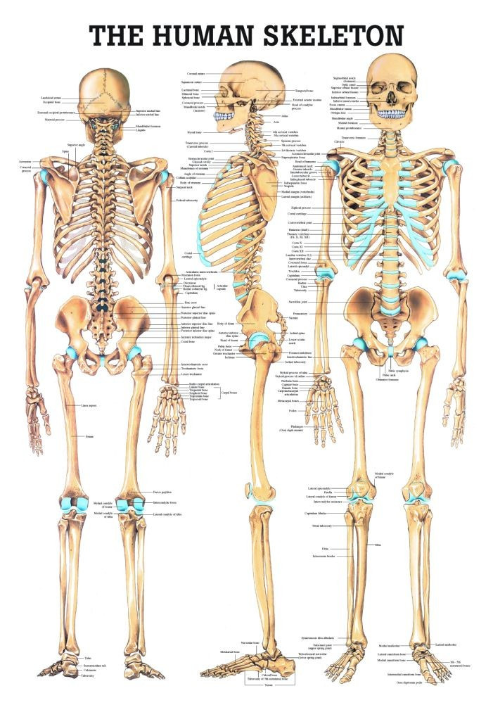 Human Skeletal System Poster Clinical Charts And Supplies