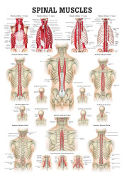 Spine Musculature Poster