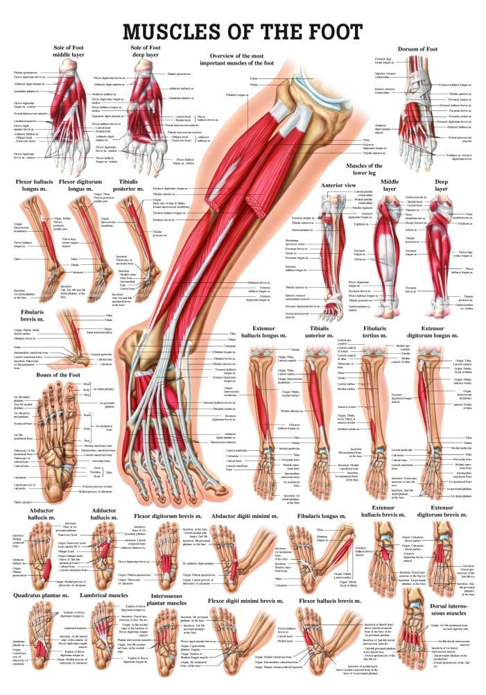human muscles of the foot poster