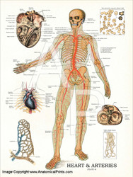 Human Heart and Arteries Poster
