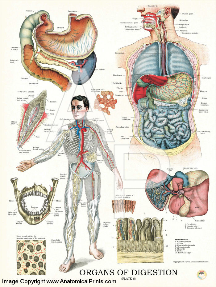 Digestive System Organs Anatomy Poster Clinical Charts And Supplies