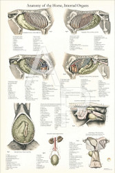 Equine Internal Organ Anatomy