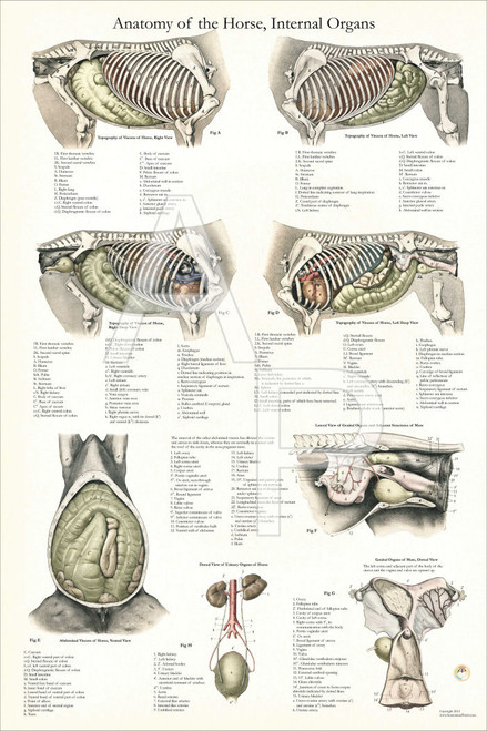Horse Internal Organ Anatomy Poster 24 x 36 - Clinical Charts and ...