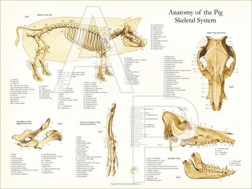 Skeletal System Diagram Of A Pig Diy Enthusiasts Wiring Diagrams