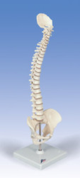 Mini Vertebral Column Model