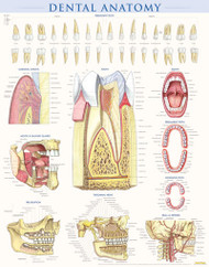 Dental Anatomy Poster