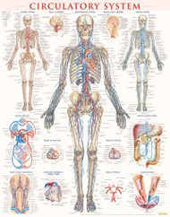 Circulatory System Anatomy Poster