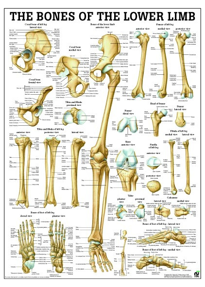 Bones of the Lower Limb Chart