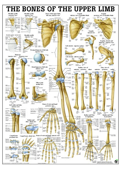 Bones of the Upper Arm Chart.