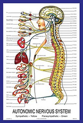 Autonomic Nervous System Poster, Traditional