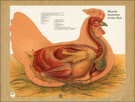 Chicken Muscle Anatomy Poster