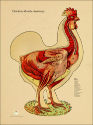 Chicken, Standing Muscular System Poster