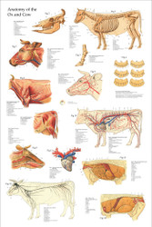 Cow Anatomical Poster