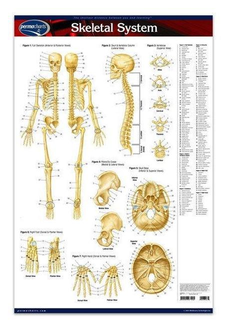 Skeleton Anatomy Poster