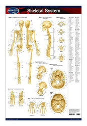 Skeleton Anatomy Poster