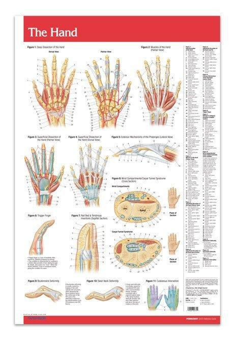 Hand Joint Medical Anatomy Poster - Clinical Charts and Supplies
