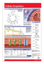 Cellular Respiration Poster