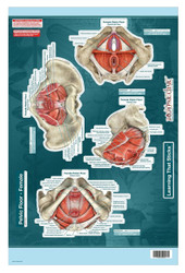 Female Pelvic Floor Poster