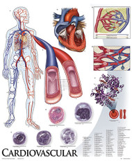 Cardiovascular System Poster
