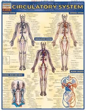 Circulatory System Poster