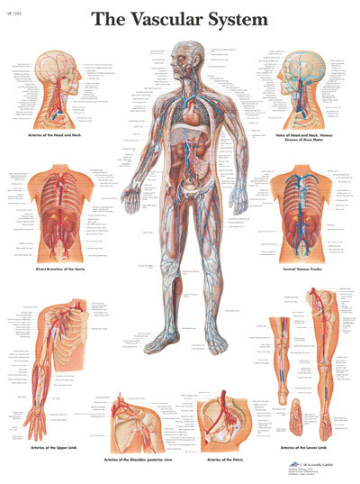 anatomy posters and charts-cardiovascular, Cephalic Vein