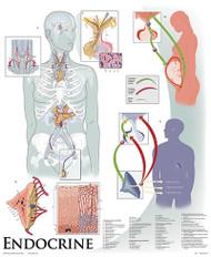 Endocrine System Poster