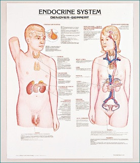 Endocrine System Anatomy Poster