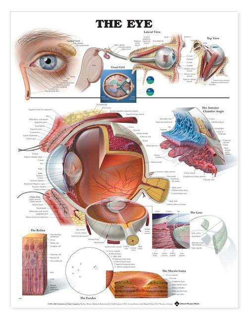 Eye Anatomy Chart