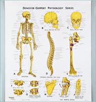 Skeletal System Anatomy Chart-3