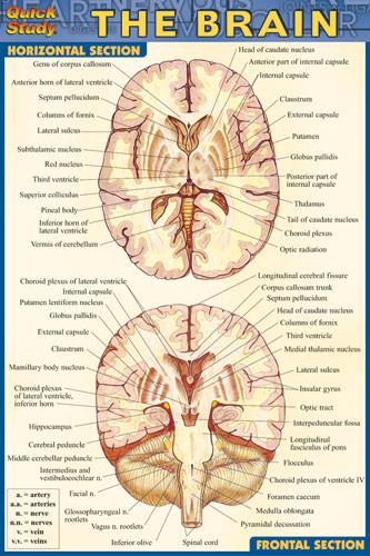 Brain Chart