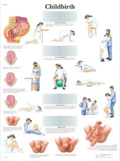 Childbirth Anatomy Chart