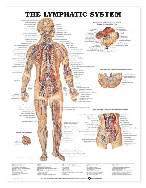 Lymphatic System Anatomical Chart-2