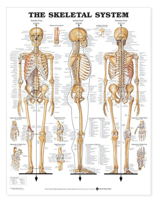 Skeletal System 3D Raised Relief Anatomy Chart