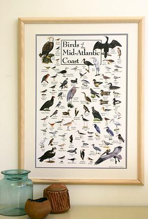 Birds of the Mid-Atlantic Coast Poster