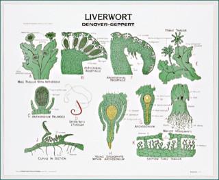 Liverwort Chart (Marchantia) Life History - Clinical ...