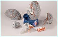 Brain Anatomical Model - Hands-On