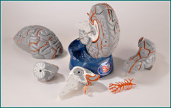 Brain Anatomical Model - Hands-On