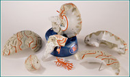 Brain Anatomical Model - 8 Part Life Size