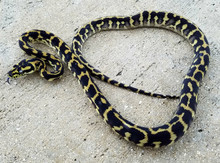 Irian Jayan Carpet Python for sale