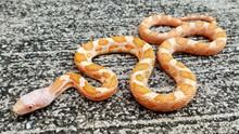 Albino Texas Rat Snake for sale