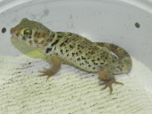 Frog Eye Gecko For Sale