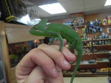 Veiled Chameleons for sale