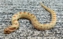 Anaconda phase Western Hognose Snakes for sale