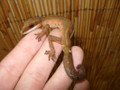 Malaysian Cat Eye Gecko for sale