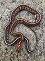 Okeetee Tessera Corn Snake for sale (Pantherophis guttata) - Anerythristic/Black