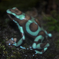 Bronze Auratus Dart Frogs For Sale